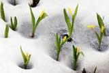 Glacier Lilies (Erythronium Grandiflorum) Print by Bob Gibbons