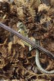 Common Lizard Posters par David Aubrey