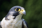 Peregrine Falcon Photographic Print by David Aubrey