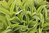 Green False Hellebore (Veratrum Viride) Photographic Print by Bob Gibbons