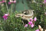 Common Lizard Affiches par David Aubrey