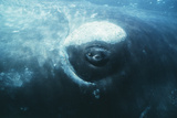 Southern Right Whale's Eye Photographic Print by Doug Allan