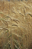 Barley Photographic Print by David Aubrey