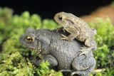 Common Toads Mating Photo by David Aubrey