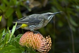 Cape Sugarbird on a Flower Print by Bob Gibbons