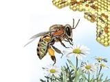Bee Anatomy, Artwork Premium Photographic Print by Jose Antonio