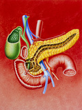 Illustration of Duodenum, Pancreas & Gall Bladder Photographic Print by John Bavosi