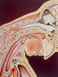 Illustration of a Whiplash Injury To the Neck Photographic Print by John Bavosi