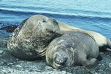 Southern Elephant Seals Reprodukcja zdjęcia autor Doug Allan