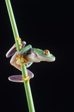 Red-eyed Tree Frog Photo by David Aubrey