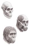 Australopithecus Africanus Photographic Print by Mauricio Anton