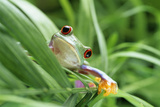 Red-eyed Tree Frog Photographic Print by David Aubrey