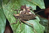 Mating Dead-leaf Bush Crickets Poster by Dr. George Beccaloni