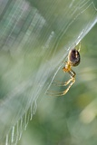 Orb Web Spider on Its Web Photographic Print by Adrian Bicker