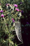 Spear Thistle (Cirsium Vulgare) Poster by Adrian Bicker