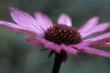 Echinacea Purpurea Photographic Print by Maxine Adcock