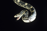 American Pine Snake Photographic Print by David Aubrey