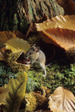 Woodmouse Eating a Chestnut Photographic Print by David Aubrey