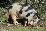Kune Kune Pig Photographic Print by David Aubrey
