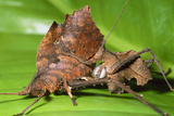 Dead-leaf Bush Crickets Mating Photo by Dr. George Beccaloni