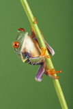 Red-eyed Tree Frog Print by David Aubrey