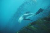 Southern Fur Seal Photo by Doug Allan