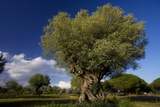 Ancient Olive (Olea Europaea) Trees Prints by Bob Gibbons