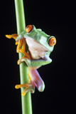Red-eyed Tree Frog Posters by David Aubrey