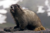 Hoary Marmot on a Rock Photographic Print by Bob Gibbons