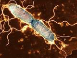 Gut Bacterium Reproducing, TEM Fotodruck von Hazel Appleton
