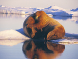 Atlantic Walrus Photographic Print by Doug Allan
