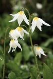 Glacier Lilies (Erythronium Montanum) Photographic Print by Bob Gibbons