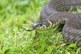 Grass Snake Photographic Print by Adrian Bicker