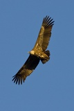 Griffon Vulture In Flight Photographic Print by Bob Gibbons