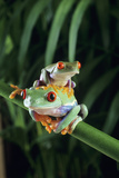 Red-eyed Tree Frogs Print by David Aubrey