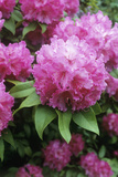 Rhododendron Flowers (Rhododendron Sp.) Photographic Print by Maxine Adcock
