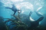 Southern Fur Seals Reprodukcja zdjęcia autor Doug Allan