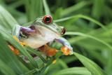 Red-eyed Tree Frog Prints by David Aubrey