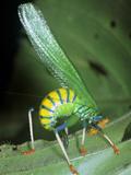 Bush Cricket Threat Display Reproduction photographique par Dr. George Beccaloni