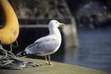 Herring Gull Papier Photo par David Aubrey