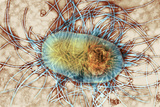 Gut Bacterium, TEM Photographic Print by Hazel Appleton