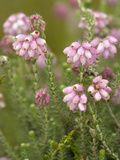 Cross-leaved Heath (Erica Tetralix) Photographic Print by Bob Gibbons