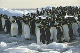 Emperor Penguins Prints by Doug Allan