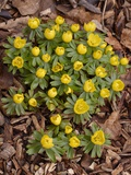 Winter Aconite (Eranthis Hyemalis) Prints by Adrian Bicker