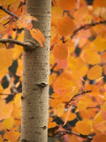 Aspen (Populus Tremula) Posters by Bob Gibbons