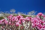Desert Rose Flowers Prints by Diccon Alexander