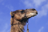 Camel's Head Photographic Print by David Aubrey