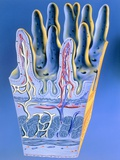 Illustration of Intestinal Villi Photographic Print by John Bavosi
