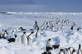 Emperor Penguins Photographic Print by Doug Allan