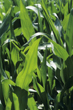 Maize Plants Photographic Print by David Aubrey